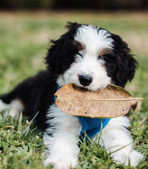 What Is A Bernedoodle Bernedoodle Puppies From Ocoee River