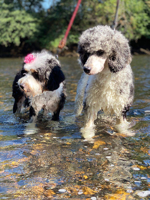 Goldendoodle Puppies And Bernedoodle Puppies In Tennessee By