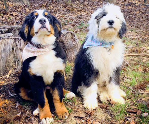 Sheepadoodle and Bernedoodle Puppies in Tennessee