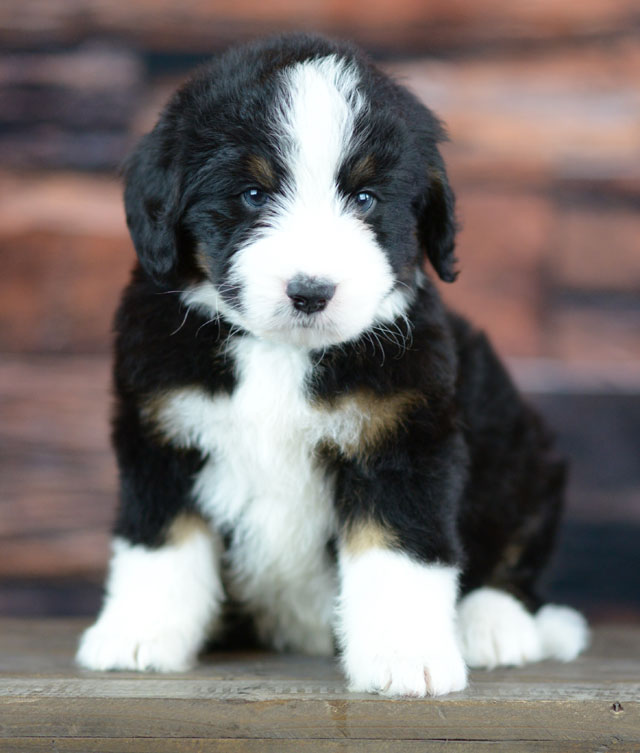 Available Bernedoodle Puppies In Tennessee Tri Color