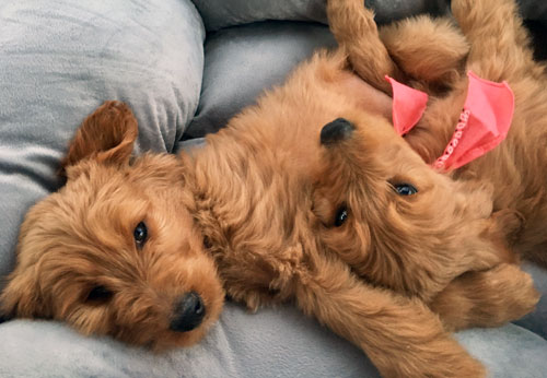 Goldendoodle and Bernedoodle Puppies in Tennessee