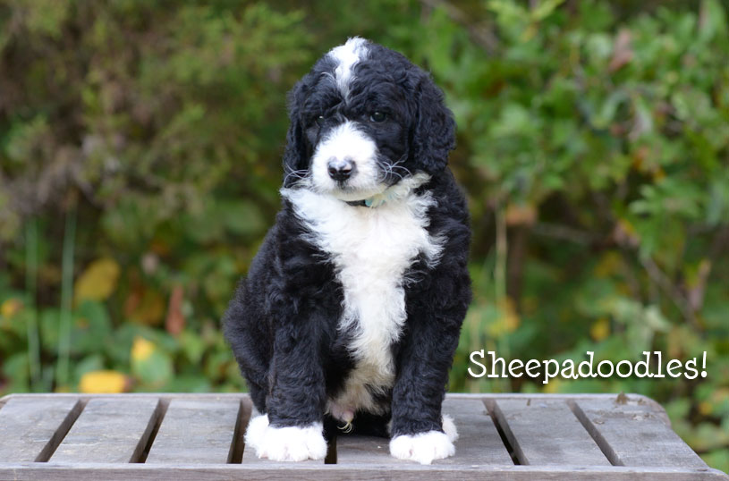 Bernedoodle And Sheepadoodle Puppies In Tennessee By Ocoee River Doodles