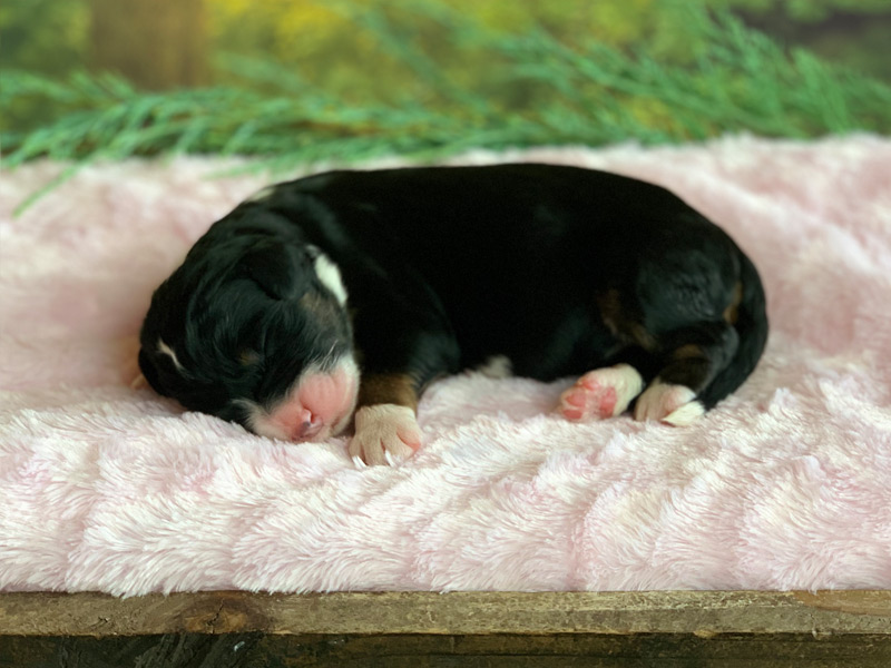Available Bernedoodle Puppies in Tennessee | Tri-Color Bernedoodle