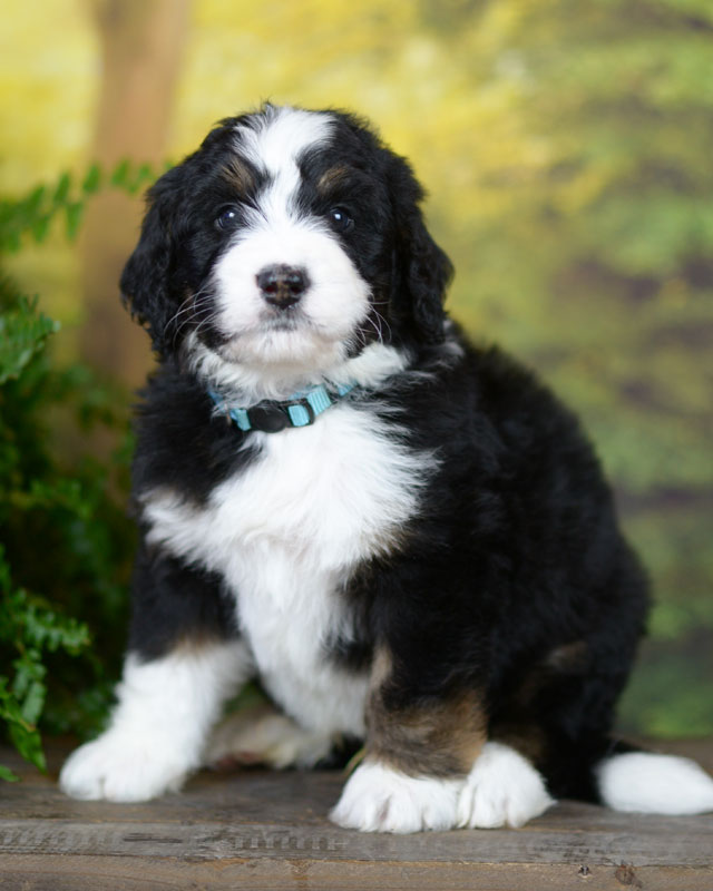 Available Bernedoodle Puppies in Tennessee | Tri-Color