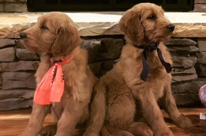 Goldendoodle Puppy for Sale