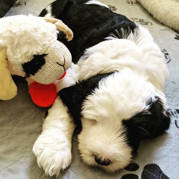 Available Sheepadoodle Puppies In Tennessee Premium F1b
